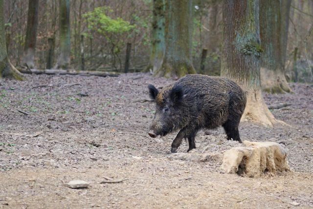 babi-hutan-yang-viral-karena-dikejar-lelaki-nudis-di-jerman-terancam-ditembak-mati