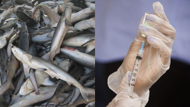 salah-satu-vaksin-covid-19-berisiko-membunuh-ratusan-ribu-hiu-di-alam-bebas
