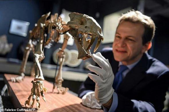 fosil-harimau-purba-ala-ice-age-akan-dilelang