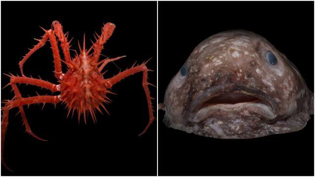 yuk-berkenalan-sama-penghuni-laut-dalam-paling-aneh-yang-pernah-ada