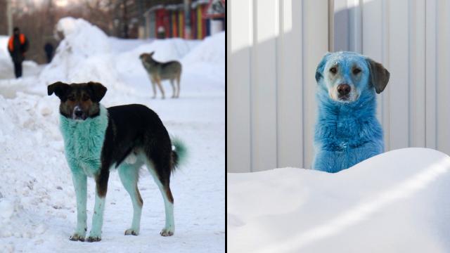 setelah-viral-anjing-biru,-gantian-muncul-kawanan-anjing-berbulu-hijau-di-rusia