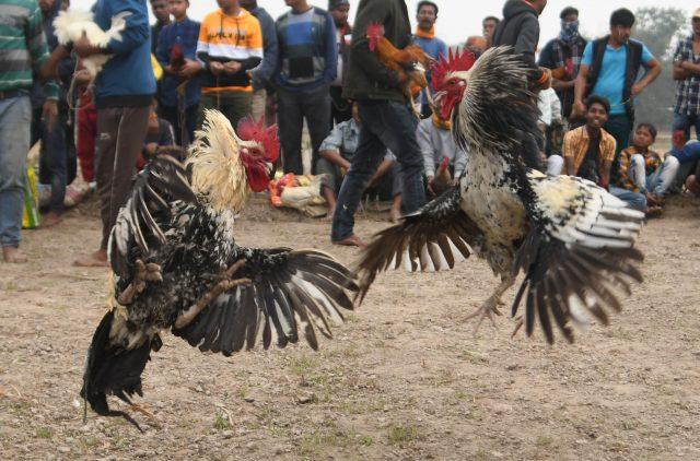 ikut-sabung-ayam,-lelaki-india-tewas-terbunuh-ayamnya-sendiri