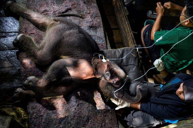 anak-gajah-di-aceh-yang-2-hari-terjebak-lumpur-mati-sembari-ditunggui-sang-induk