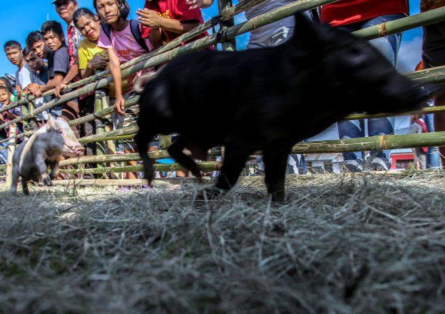 aksi-warga-depok-sembelih-babi-ngepet,-menurut-aktivis-hak-hewan-termasuk-penyiksaan