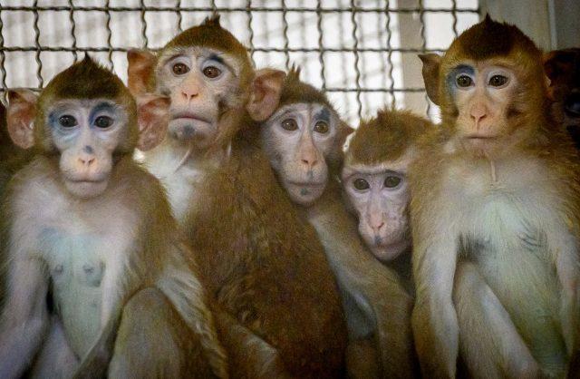 tiongkok-kekurangan-pasokan-monyet-untuk-percobaan-ilmiah