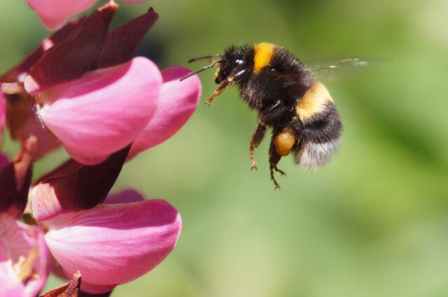 lebah-yang-gemar-konsumsi-kafein-ternyata-bekerja-lebih-efektif