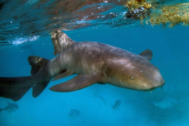 ratusan-hiu-terdampar-di-pekarangan-warga-akibat-ganggang-beracun