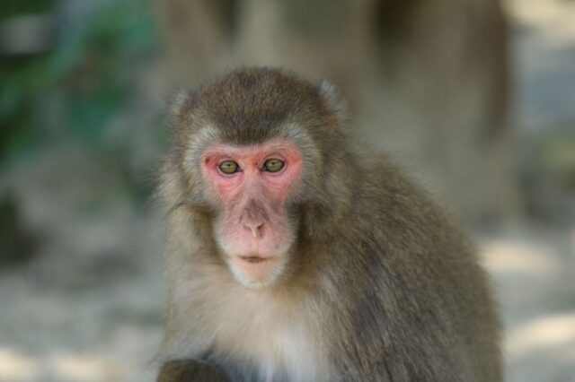 monyet-betina-di-jepang-cetak-sejarah,-jadi-penguasa-kawanan-kebun-binatang