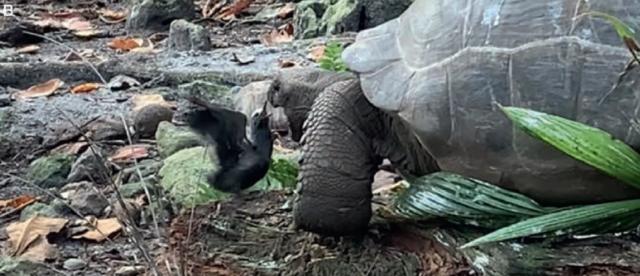 ilmuwan-rekam-kura-kura-raksasa-vegetarian-memangsa-burung-untuk-pertama-kalinya