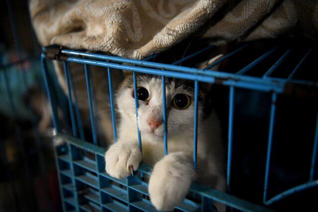 lelaki-bedebah-siksa-kucing-yang-dia-adopsi-untuk-memeras-pemilik-lama