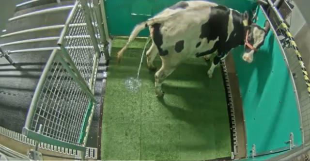 ilmuwan-melatih-sapi-pipis-seperti-kucing,-supaya-tidak-mencemari-lingkungan